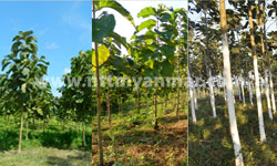 plantation-5
